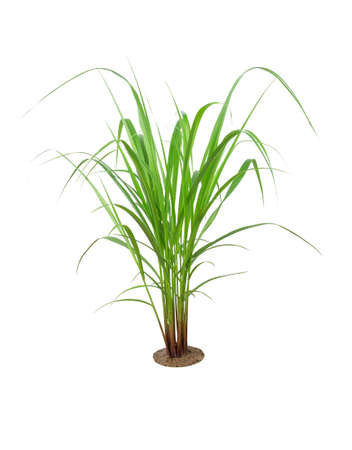 Green Grass Border isolated on white background. ( Paragrass, buffalograss, panicum grass)The grass is native to Thailand is very popular in the front yard.