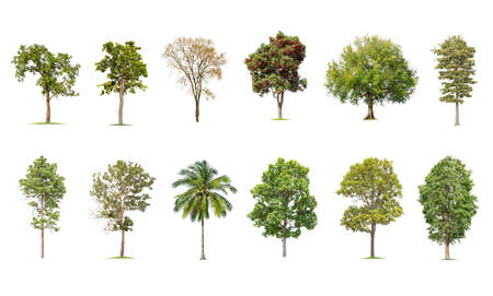 isolated big tree on White Background. The collection of trees. tropical trees isolated used for design, advertising and architecture