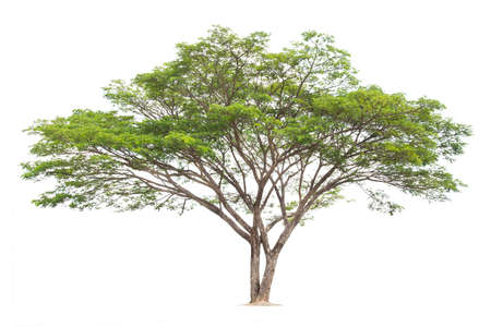 Samanea saman, Rain tree, isolated on White Background. tropical trees isolated used for design, advertising and architecture 版權商用圖片
