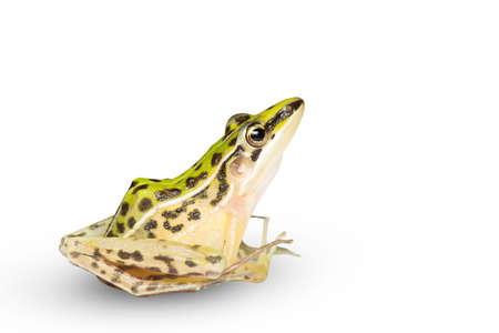 A beautiful common green water frog. isolated on white background. Frogs are amphibians.