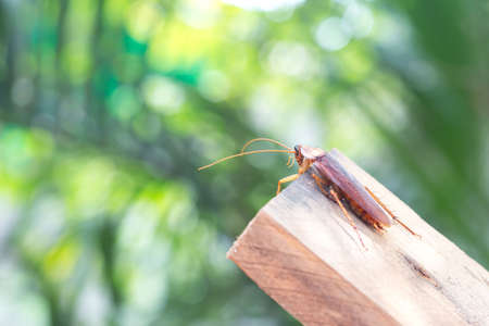 Cockroach on wooden, nature blurred background. Space for text input or advertising work for the cockroach concept that invades the house Reklamní fotografie