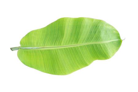 tropische Bananenblattstruktur im Garten, abstraktes grünes Blatt, große Palmenlaubnatur. Bananenblatt isoliert auf weißem Hintergrund,
