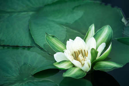 Beautiful white lotus flower with water droplets on the petals blooming in the pond and green lotus leaves around.