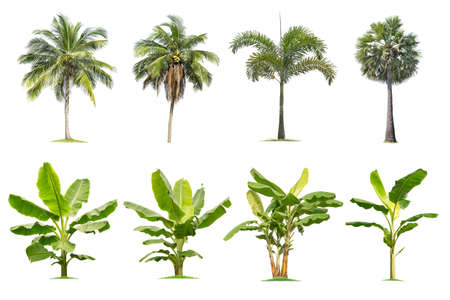 Cocoteros y palmeras, árboles de plátano Árbol aislado sobre fondo blanco, árboles tropicales aislados utilizados para diseño, publicidad y arquitectura