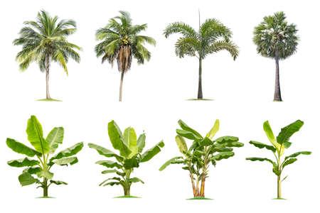 Kokos und Palmen, Bananenbäume Isolierter Baum auf weißem Hintergrund, tropische Bäume isoliert für Design, Werbung und Architektur verwendet