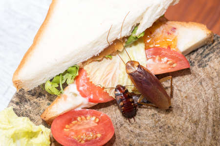 The problem in the house because of cockroaches living in the kitchen.Cockroach eating whole wheat bread on  wood cutting board background. Cockroaches are carriers of the disease. 写真素材