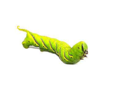 Green caterpillar, worm isolated on white background. A photo of a green high-resolution caterpillar filmed in a studio room. Foto de archivo - 133296915