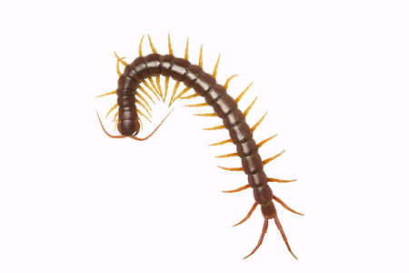 centipede (Scolopendra sp.) centipede isolated on white background. The top view of a living centipede, high resolution images shot in a studio room Foto de archivo - 133614472