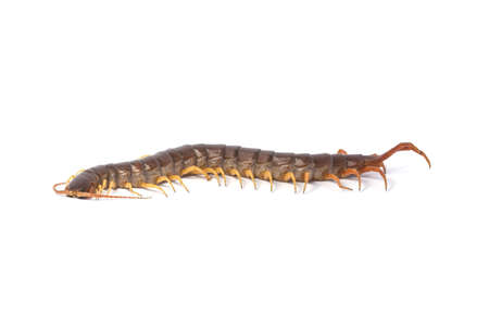 centipede (Scolopendra sp.) centipede isolated on white background. The top view of a living centipede, high resolution images shot in a studio room
