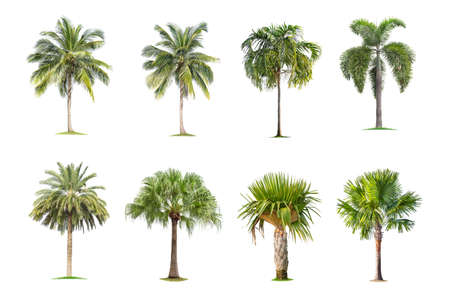 Coconut and palm trees Isolated tree on white background , The collection of trees.Large trees are growing in summer, making the trunk big. Foto de archivo - 135082860