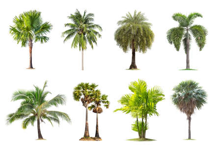 Coconut and palm trees Isolated tree on white background , The collection of trees.Large trees are growing in summer, making the trunk big. Foto de archivo - 135082831