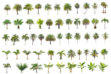 Coconut and palm trees Isolated tree on white background , The collection of trees.Large trees are growing in summer, making the trunk big. Foto de archivo - 135082846