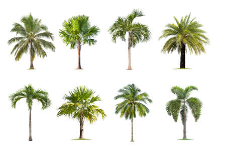 Coconut and palm trees Isolated tree on white background , The collection of trees.Large trees are growing in summer, making the trunk big. Foto de archivo - 134717069
