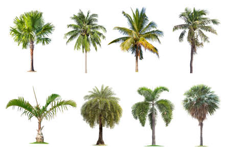 Coconut and palm trees Isolated tree on white background , The collection of trees.Large trees are growing in summer, making the trunk big. Foto de archivo - 135193366