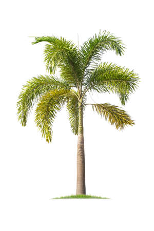Palm tree (Foxtail Palm) isolated on white background. tropical trees isolated used for design, advertising and architecture Foto de archivo - 137043528