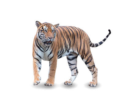 Royal tiger walking on a white background. Great tiger male in the nature habitat. Wildlife scene with danger animal. Hot summer in asia. beautiful asian tiger, Panthera tigris. Foto de archivo - 137052925