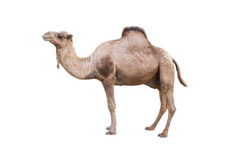 Chameau d'Arabie, dromadaire ou chameau d'Arabie isolé sur fond blanc Banque d'images