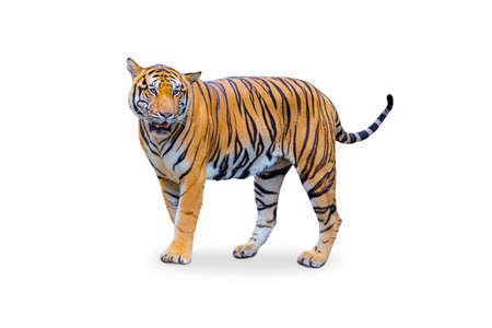 royal tiger (P. t. corbetti) isolated on white background . The tiger is staring at its prey. Hunter concept.