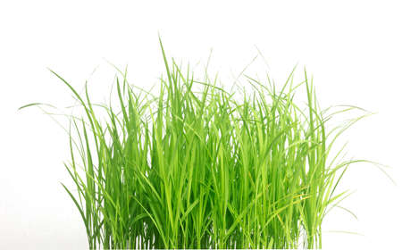 Rice seedlings isolated on white background. Green Grass Border isolated on white background.The collection of grass.The grass is native to Thailand is very popular in the front yard.