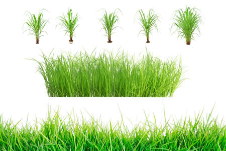 Rice seedlings isolated on white background. Green Grass Border isolated on white background.The collection of grass.The grass is native to Thailand is very popular in the front yard. Stock fotó