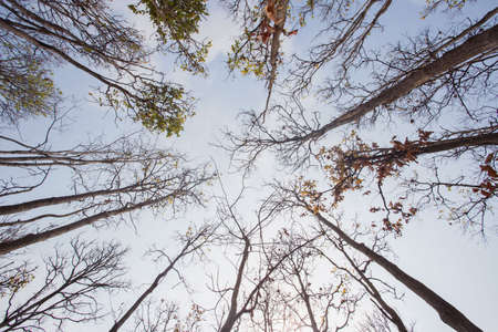 Winter tree tops viewed looking up. leafless trees. Treetops pattern. Bottom view trees. Forest abstract background. Autumn background.