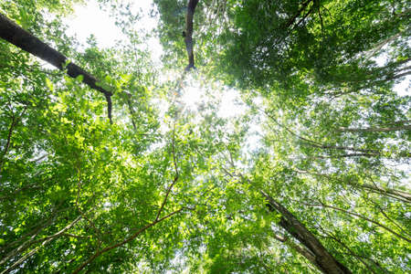 summer forest bottom view - vivid green rich, lush foliage. Looking up pine trees crowns branches in woods or forest.  Bottom view wide angle background photo. Tops of trees from ground view.
