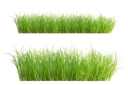 Rice seedlings isolated on white background. Green Grass Border isolated on white background.The collection of grass.The grass is native to Thailand is very popular in the front yard. Archivio Fotografico
