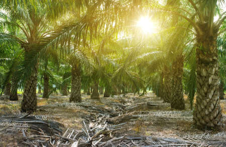 palm oil plantation growing up. Palm oil plantation and morning sunlight Archivio Fotografico