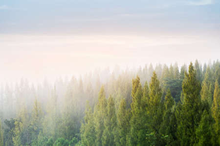 Beautiful winter landscape in the mountains. Sunrise. forested mountain slope in low lying cloud with the evergreen conifers shrouded in mist in a scenic landscape view