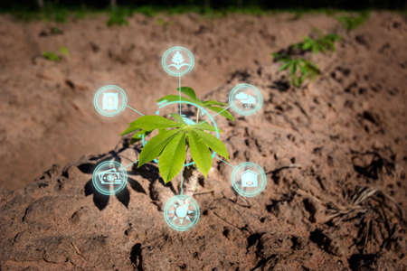 Growing young cassava seedling in cultivated agricultural farm field with modern technology concepts.Tapioca fields on natural background. Grow cassava. Season of planting cassava.