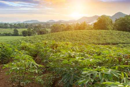 row of cassava tree in field. Growing cassava, young shoots growing. The cassava is the tropical food plant,it is a cash crop inThailand. This is the landscape of cassava plantation in the Thailand. Archivio Fotografico