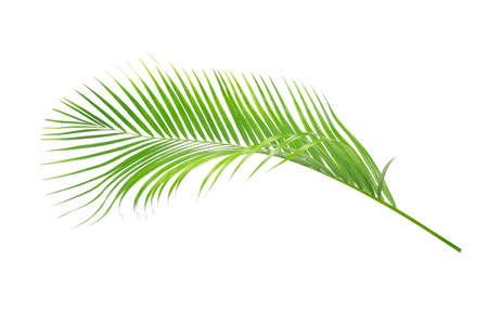 Green leaves of palm tree isolated on white background Archivio Fotografico