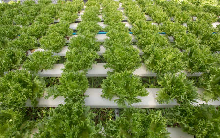 Hydroponics,Organic fresh harvested vegetables,Farmers looking fresh vegetables. Farmers working with organic hydroponic vegetable garden at greenhouse.Plants in the greenhouse. Green salad growing 免版税图像