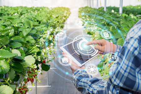 Innovation technology for smart farm system, Agriculture management, Hand holding smartphone with smart technology concept. asian male farmer working in Strawberry farm To collect data to study. Archivio Fotografico