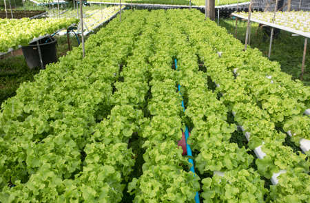 Hydroponics,Organic fresh harvested vegetables,Farmers looking fresh vegetables. Farmers working with organic hydroponic. Green salad growing 版權商用圖片