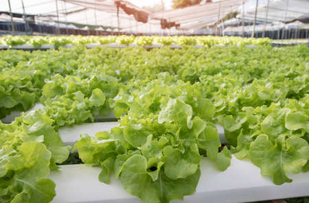 Hydroponics,Organic fresh harvested vegetables,Farmers looking fresh vegetables. Farmers working with organic hydroponic. Green salad growing Archivio Fotografico