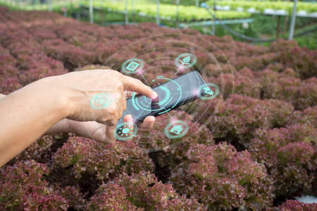 Innovation technology for smart farm system, Agriculture management, Hand holding smartphone with smart technology concept. asian male farmer working in Organic vegetables farm To collect data. 免版税图像