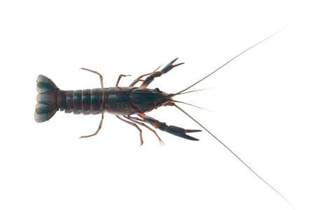 Blue crayfish, Fresh water Lobster. red claw crayfish alive or fash water lobster alive set on isolate white background