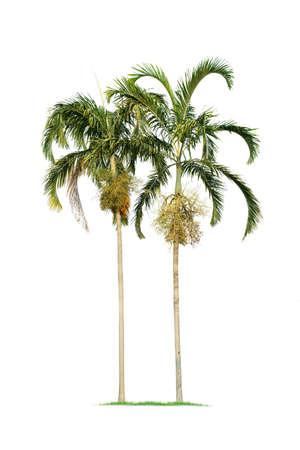 isolated big palm tree on White Background. Large palm trees database Botanical garden organization elements of Asian nature in Thailand,