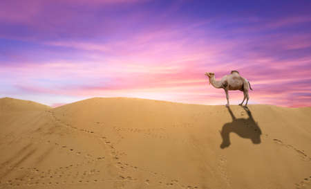 Camel standing at the top of the sand dune. arabic camels in Oman desert standing in soft brown sand