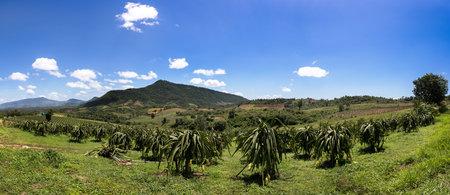 Panorama Garden dragon. Dragon fruit on plant, Raw Pitaya fruit on tree, A pitaya or pitahaya is the fruit of several cactus species indigenous to the Americas. 版權商用圖片