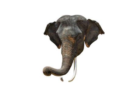 Elephant Head. Asia elephant on isolated white background.