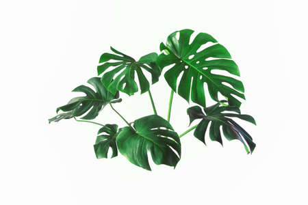 Monstera plant leaf, the tropical evergreen vine isolated on white background, Real monstera leaves decorating for composition design.Tropical,botanical nature concepts ideas.