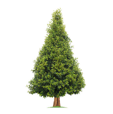 Isolated green tree on white background, Trees isolated on white background, tropical trees isolated used for design, advertising and architecture.