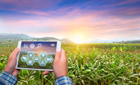 Innovation technology for smart farm system, Agriculture management, Hand holding smartphone with smart technology concept. asian male farmer working in corn farm To collect data to study. 版權商用圖片