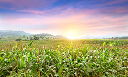 Young green corn growing on the field at sunset. Young Corn Plants. Corn grown in farmland, cornfield. Beautiful and colourful sunset scenery in rural countryside environment.