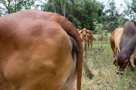 Close up of reproductive organs of cow. Red Brahman in Santa Fe (Argentina). Red Brahman Breed is originary from India. 版權商用圖片