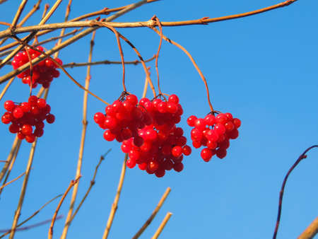 guelder rose berry: Berries viburnum on a background of beautiful blue sky