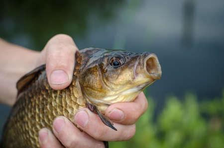 crucian carp: Carp just caught on the bait lake