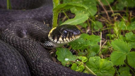 harmless: So the snake lying on the grass digesting food Stock Photo